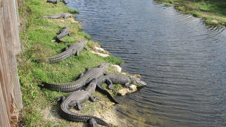 Alligatoren am Oasis Vistor Center im Big Cypress Preserve